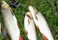 Как выглядит голавль: фото рыбы