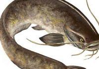 Как выглядит сом: фото рыбы
