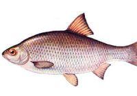 Как выглядит вобла: фото рыбы