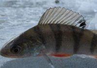 Как выглядит окунь: фото рыбы
