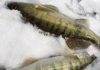 На что ловить судака зимой: лучшие наживки и приманки