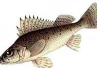Как выглядит ерш: фото рыбы