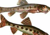 Как выглядит пескарь: фото рыбы