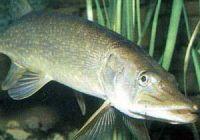Как выглядит щука: фото рыбы