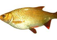 Как выглядит красноперка: фото рыбы