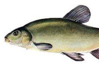 Как выглядит линь: фото рыбы
