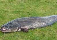 Особенности рыбалки на сома