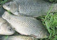 Как выглядит карась: фото рыбы