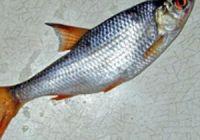 Как выглядит чебак, фото рыбы