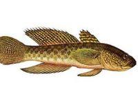 Как выглядит бычок: фото рыбы