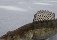 Как ловить судака зимой: лучшие наживки и снасти