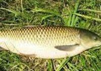 Как выглядит белый амур, фото рыбы