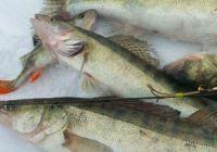 Рыбалка на судака зимой: ловля на балансир и живца
