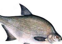 Как выглядит лещ: фото рыбы